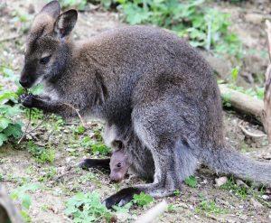 Wenige Stunden nach der Geburt ein erster Blick aus dem Beutel der Mutter. (c) Tierwelt Herberstein