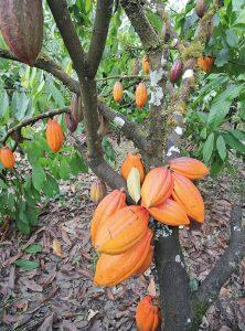 So sehen reife Kakaoschoten aus. (c) (Martin Wildenberg_global2000